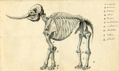 Working Sketch of the Mastodon, 1801