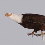 White-Headed or Bald Eagle, n.d.